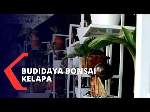 mengintip bisnis budidaya bonsai kelapa