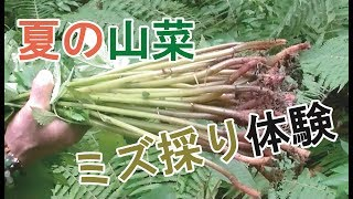 夏の山菜・ミズ採りへ入山!