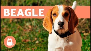 Beagle Dogs – History, Characteristics And Training
