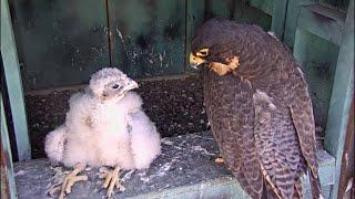 AZ Downtown Peregrine Falcons ~ It's Mine, All Mine! 6.2.16