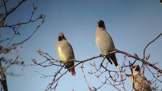 Japanese Waxwing and Bohemian Waxwing