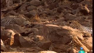 El León y el Leopardo: una peculiar amistad