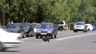 Щенок в Шымкенте учит людей соблюдать правила дорожного движения