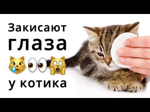 Закисают глаза у котенка. Что делать, чем лечить?