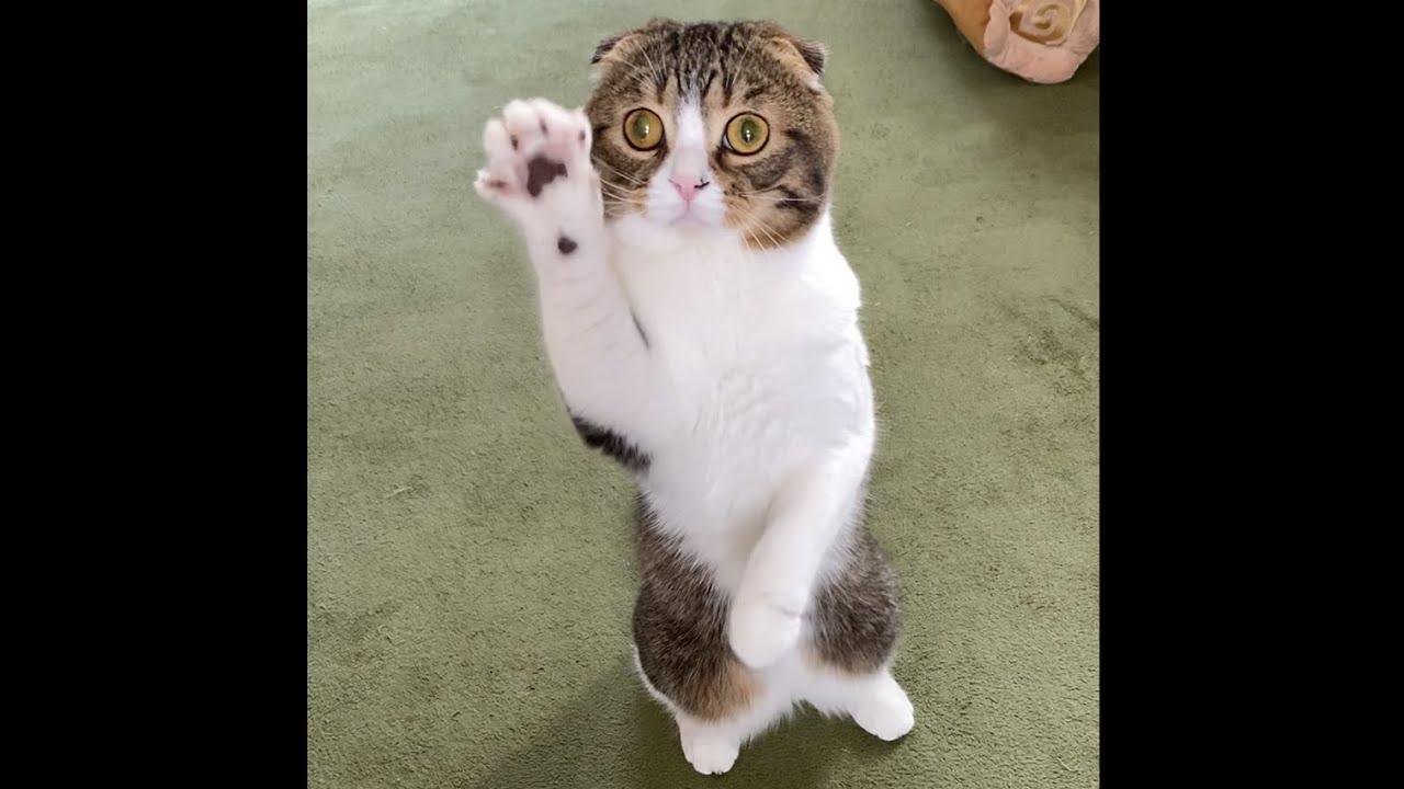 テレワーク中のママに遊んで欲しくてアピールする猫