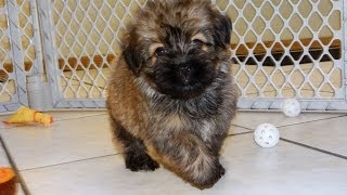 Havanese, Puppies, Dogs, For Sale, In Montgomery, Alabama, AL, 19Breeders, Hoover, Auburn