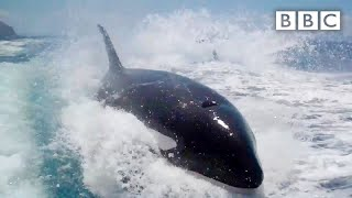 Why did Killer Whales chase a tourism boat? - Nature's Weirdest Events: Series 4 Episode 1 - BBC Two