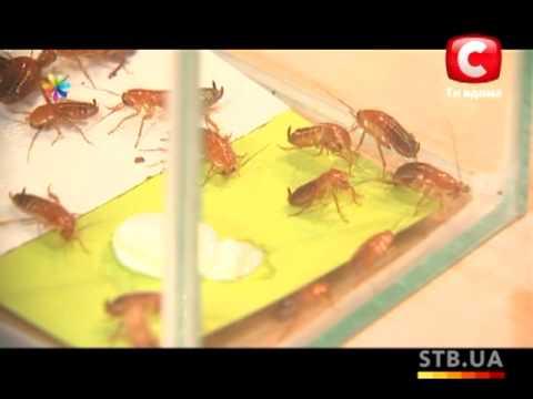 Домашние средства от тараканов и муравьев - Все буде добре - Выпуск 78 - 13.11.2012