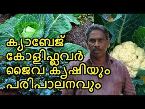 , title : 'ക്യാബേജ്-ക്വാളി ഫ്ലവര് ഇനി ഈസി ആയി കൃഷി ചെയ്യാം How to Cultivate Cabbage and Cauliflower  MALAYALAM
