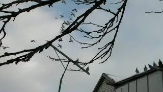 13.января 2019 г голуби по питомнику Александра  и Тамары (( город Константиновка))