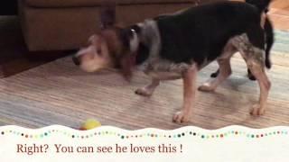 Earl, an adoptable dog