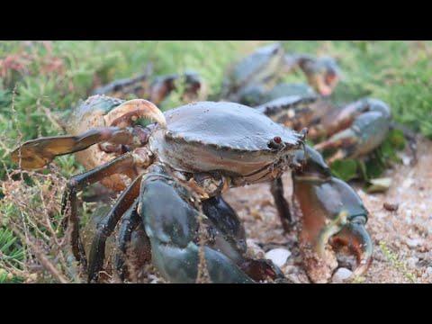 晚上紅樹林趕海,發現大螃蟹遍地成災,連攝影師抓到都不願回家【海村小梅】