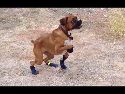 Funny Dogs in Boots for the First Time Compilation 2014 [HD]