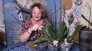 Орхидея  после покупки - ПОСМОТРИТЕ КАК МЕНЯ ОБМАНУЛИ В МАГАЗИНЕ НОВУС