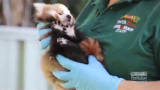Red Panda Cubs Vet Check