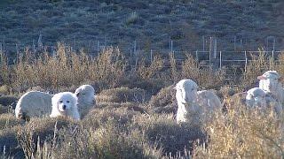 LIVE CATTLE - El INTA Bariloche conformó un criadero de perros entrenados para proteger al ganado
