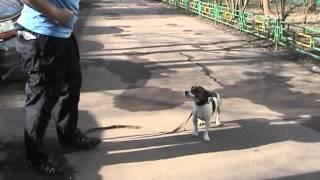 Смотреть онлайн Способы отучить пса тянуть поводок в прогулке