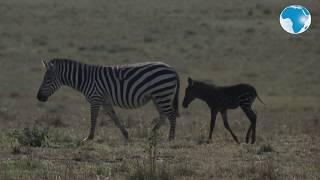 Spotted: Polka-dotted zebra seen in Kenya