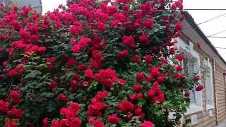 Роза - королева сада