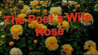 The Poet`s Wife Rose David Austin,  English  Roses