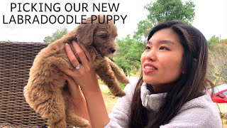 Picking Out Our Australian Labradoodle Puppy