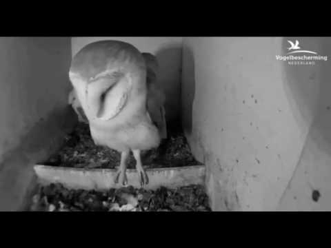 Barn Owls: Mating Twice - 31.03.17