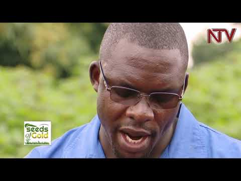 SEEDS OF GOLD: Ways to get high yields from cassava