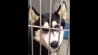 IMG_0172.MOV Malamute girl at Lancaster shelter, CA 661-940-4191