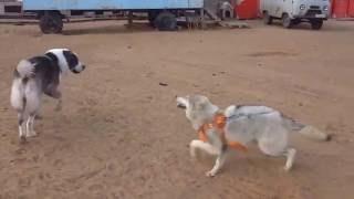 волк и алабай - wolf and alabai