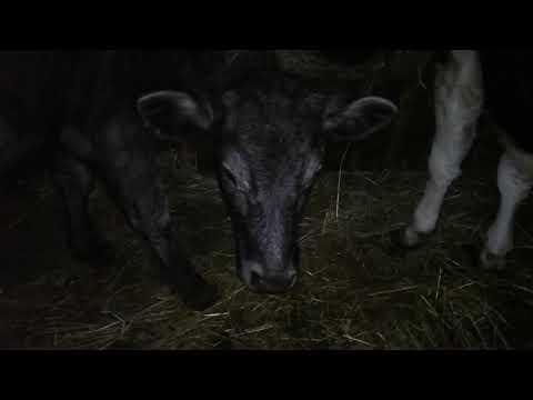 Как кормить телок!растим корову!