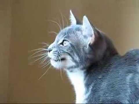 Why Do Cats Make A Clicking Sound
