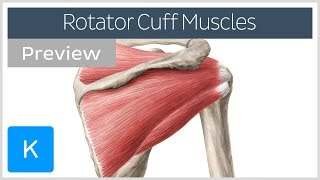 Rotator cuff muscles overview (preview) - Human Anatomy | Kenhub