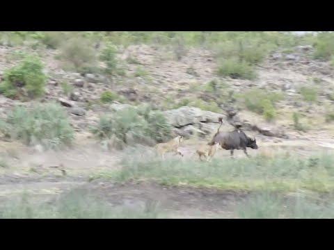 Дикая охота: В Африке буйволу удалось убежать от голодных львиц