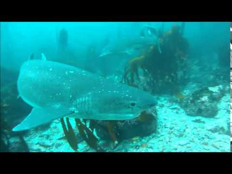 Oceanus Scuba meeting up with some Cow sharks at Miller's Point, False Bay, South Africa