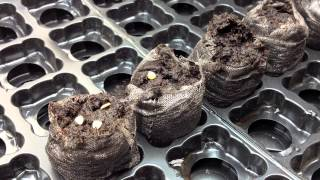 How to start Seeds using Peat Pods in the Alberta Urban Garden