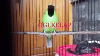 Cucak Ijo OGI - (R) KELAP #.1