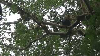 preview picture of video 'Chimpanzees in the wild (Uganda, Kibale, 2009)'