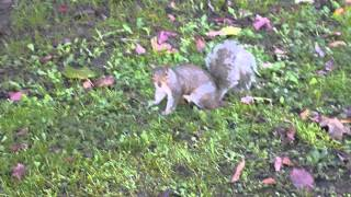 preview picture of video 'Urban squirrel in Hackney London'