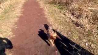 Silky terrier training for marathon
