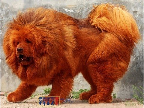 Top 10 Dogs Worth More Than Your House!!