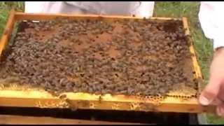 Смотреть онлайн Как производится подсадка матки в пчелиный улей