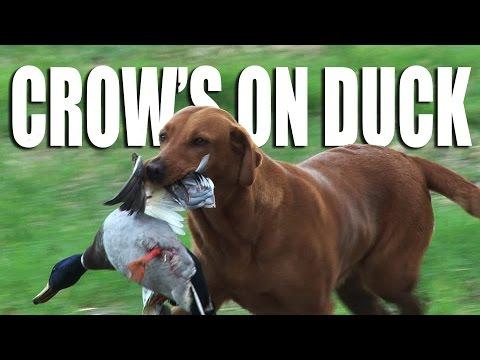 Crow on Ducks