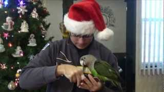 Parrots on Christmas Day