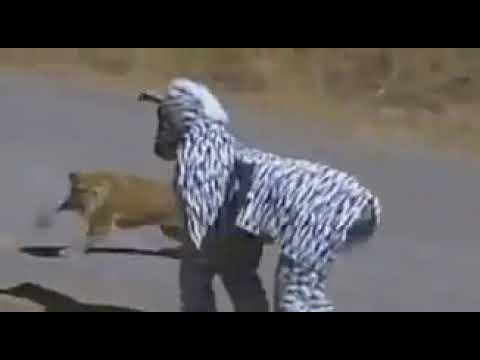 Dressed in Zebra Costume in African Bush   Lions attack