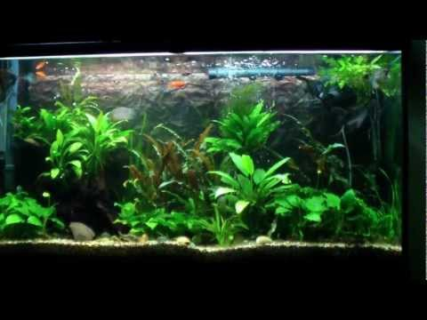 Freshwater Aquarium with Clown Pleco. Angelfish. Gourami. Rasbora and more