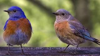 Easter Bluebird - Błękitnik rudogardły