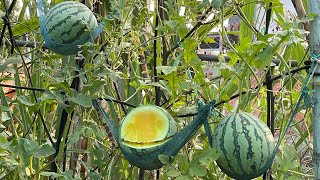 Yellow Watermelon Growing in Pot - From Seeds to Harvest - How to Grow Watermelon at Home Garden
