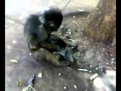 Cười Vỡ Bụng - Chú khỉ hôn mèo đắm đuối