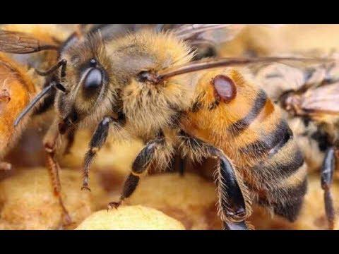 Не дорогое средство из аптеки для лечения пчёл от Варроатоза
