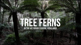 Tree Ferns in the Victorian Central Highlands
